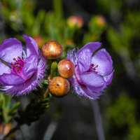 Flowers Of WA - The flowers of Western Australia are just amazing.