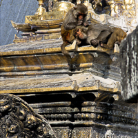 Nepal 2002 - Monkeys rest on the golden roofs of Swyambunath, better known as the Monkey Temple, which lies just to the north of Kathmandu.